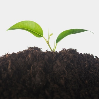 Seedling growing in the soil isolated over white background