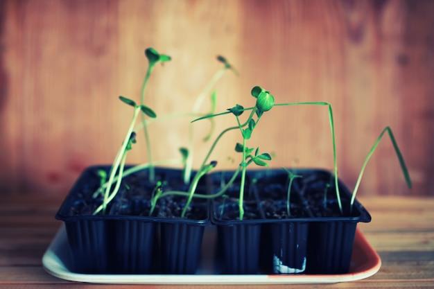 鉢植えの苗