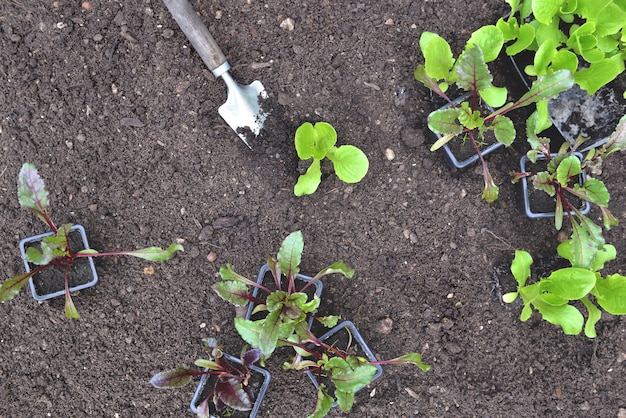 Seedling of lettuce and beet in pot put on the soil in garden to be planted