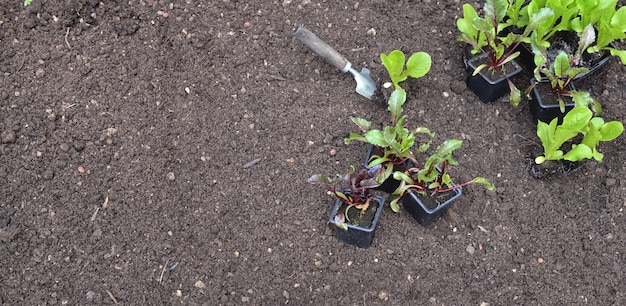 Seedling of lettuce and beet in pot put on the soil in garden with copy space