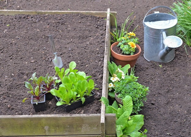 Seedling of lettuce and beet in pot put on the soil in a square garden to be planted