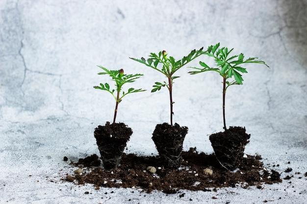 회색 콘크리트 배경에 잎, 새싹, 뿌리가 있는 금잔화 묘목
