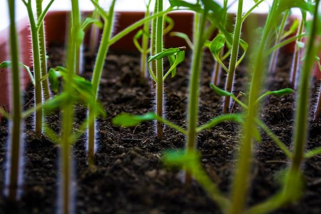 Рассада молодых растений на подоконники в домашних условиях