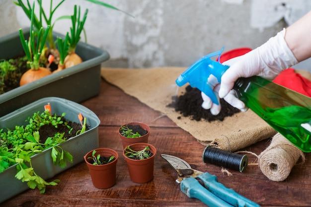自宅での苗の植え付けプロセス。鉢に緑を植える。自宅で庭の植物を植えるための指示