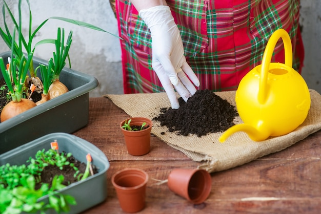Seedling planting process at home. planting greens in pots. instructions for planting garden plants at home