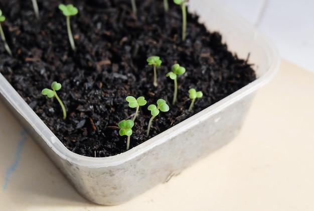 からし菜やサイシン野菜の苗作り。