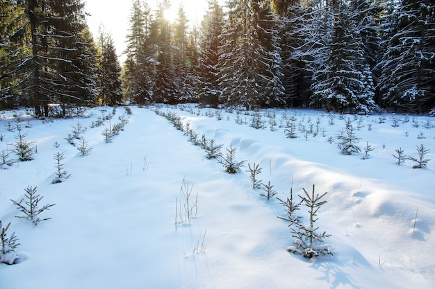 Seedling spruces in row in snow in winter forest