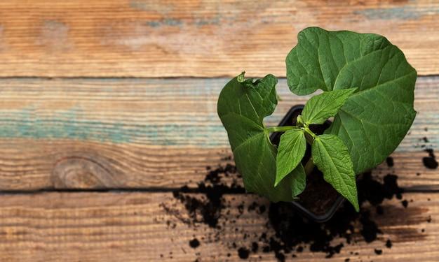 묘목, 텍스트를 위한 공간이 있는 나무 배경에 있는 어린 콩 묘목. 성장하는 식물의 개념입니다.