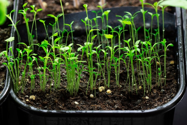 Seedlings of celery grown at home on a windowsill