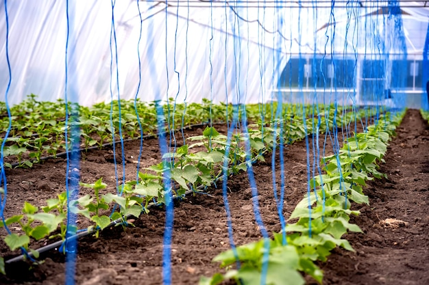 Seedlings of cucumbers in a greenhouse on irrigation.