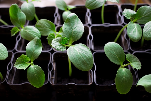 Seedlings of cucumbers, small sprouts in black pots, green young plants