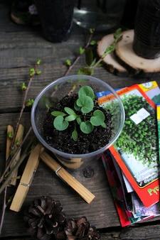 Seedlings of dichondra