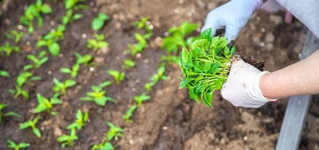 春に庭の植物を植えるための苗。
