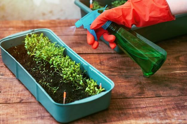 정원 식물의 묘목을 큰 직사각형 냄비에 심고 분무기에서 물을 뿌립니다.
