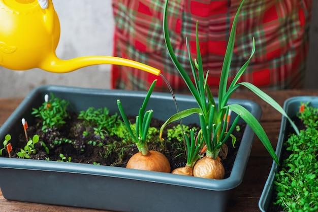 집 창가에서 자란 묘목. 환경 친화적 인 제품. 집에서 자연 정원입니다. 물을 깡통에서 식물에 물을주기