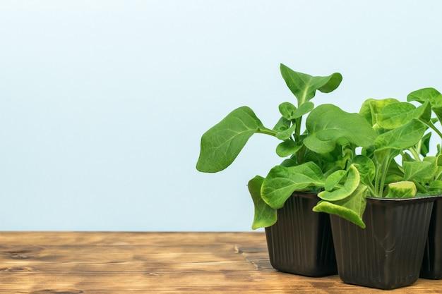 木製のテーブルの上の黒いプラスチック製のコップの苗。家で植物を育てる。