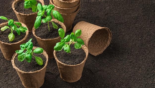 泥炭鉢の苗。コピースペースのある側面図。成長するバジル。