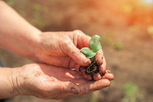 しわの手で苗。小さな植物の芽をクローズアップし、スペースをコピーします。