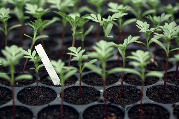 Seedlings of marigold (tagetes erecta, mexican marigold