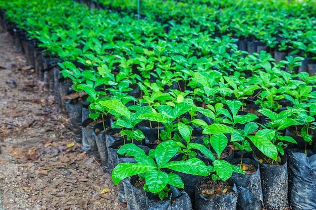 保育園でのコーヒー植物の苗