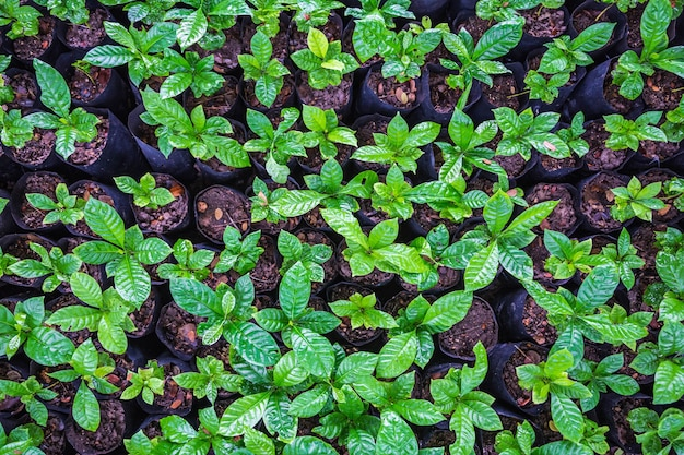 苗床のコーヒー植物の苗