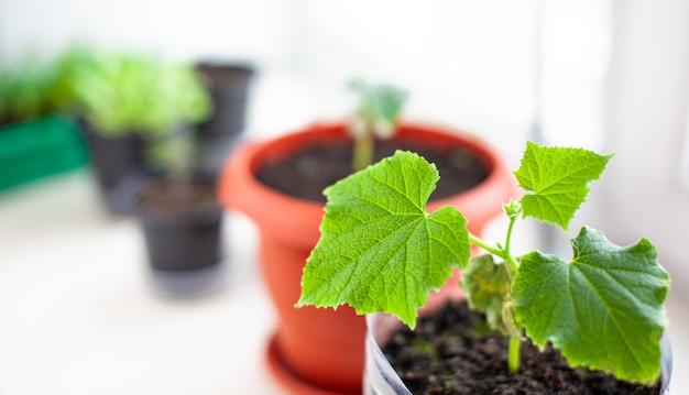 창 근처의 화분에 있는 오이와 식물의 묘목, 녹색 잎 클로즈업. 친환경적이고 건강한 생활 방식을 위해 집에서 식품을 재배합니다. 추운 계절에 집에서 묘목 키우기