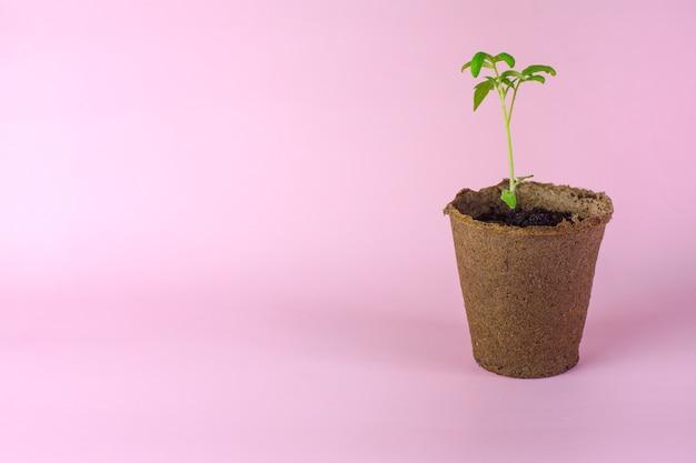 Рассада одного помидора в торфяной чашке. концепция более безопасного отношения к природе и использования натуральных материалов