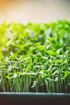 コショウの苗緑の葉の質感。葉のテクスチャ背景。