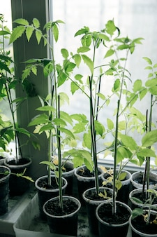 窓の上の植物の苗