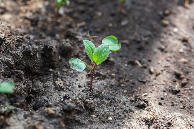 温室の庭のベッド、水平形式で大根とレタスの苗