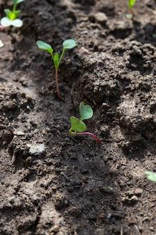 温室の庭のベッドの大根とレタスの苗、垂直形式