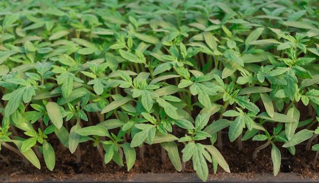 温室の種子からトマトの苗