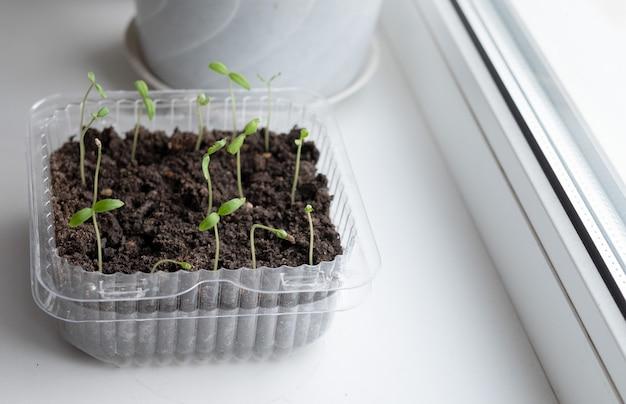 냄비에 토마토의 묘목입니다. 묘목. 토마토의 젊은 식물. 냄비에 토마토의 묘목입니다. 원예. 성장하는 토마토.