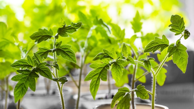 温室内のトマトの苗、トマトの緑の葉、成長中のトマト_