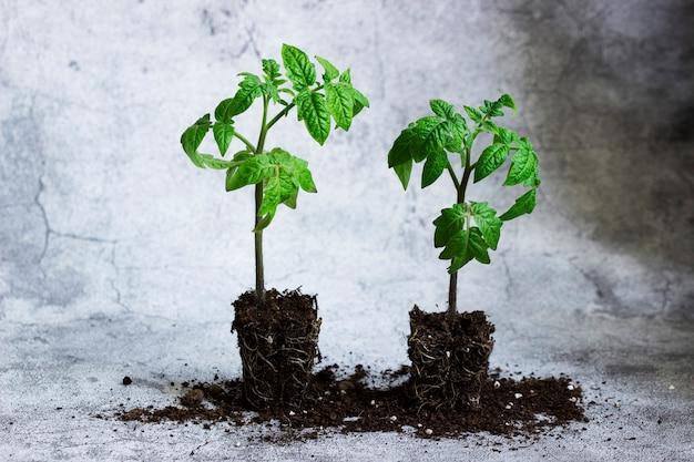 회색 콘크리트 배경에 토마토 모종. 농업 개념, 선택적 초점입니다.