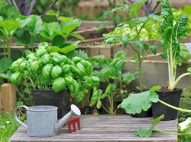 냄비에서 자라는 야채 모종과 정원의 토양에 바질을 뿌립니다.