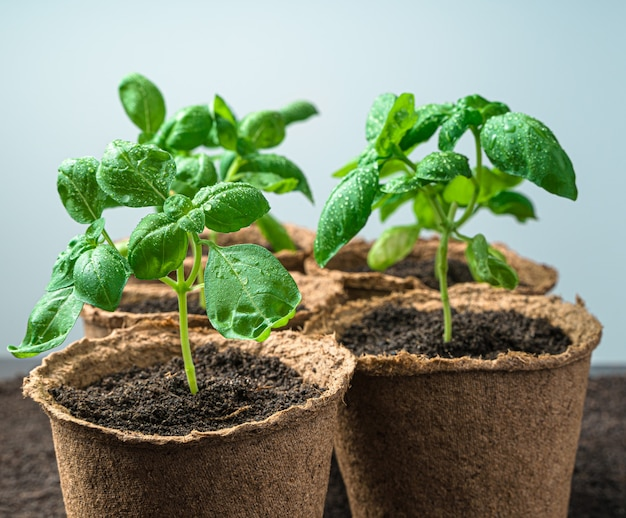 Seedlings in peat glasses on a light desk growing basil