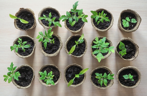 Seedlings in peat pots on a wooden table. top view.