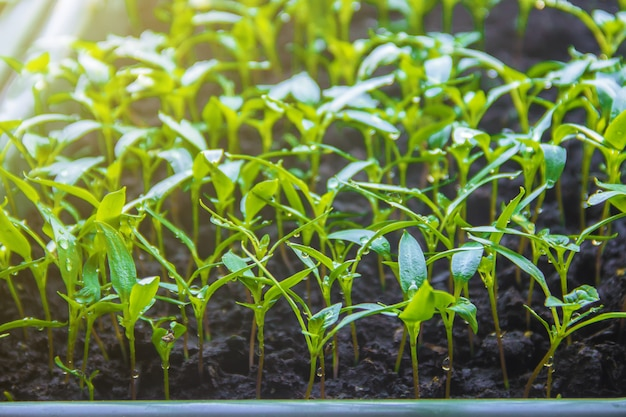 Seedlings of pepper in pots on the windowsill. selective focus.