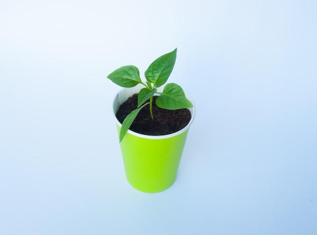 Seedlings of pepper