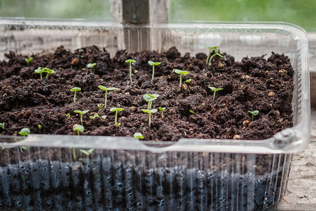 Seedlings in a plastic container on a windowsill