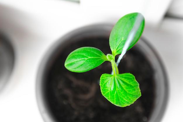 Seedlings in pots. baby plants seeding.