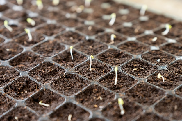 Seedlings sprout growing on soil in tray