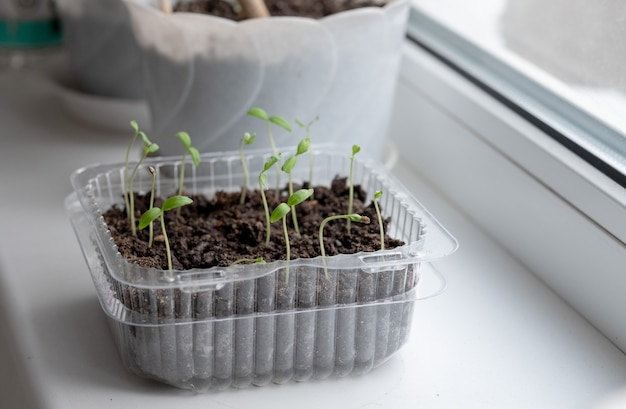 Seedlings of tomatoes in a pot. seedlings. young plant of tomatoes. seedlings of tomatoes in a pot. gardening. growing tomatoes.