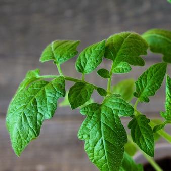 Seedlings of tomatoes spring