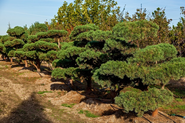 Seedlings of various trees in pots in a garden shop sale of many varieties of coniferous and deciduo