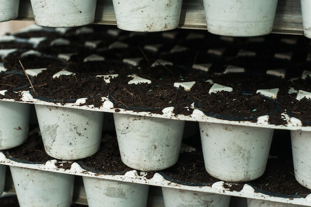 Seedlings in white plastic pots. greenhouse production