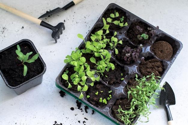 Саженцы со свежими зелеными листьями на подоконнике. миниатюрный садовый инвентарь для горшечных растений: лопата и грабли. концепция сада и сельского хозяйства