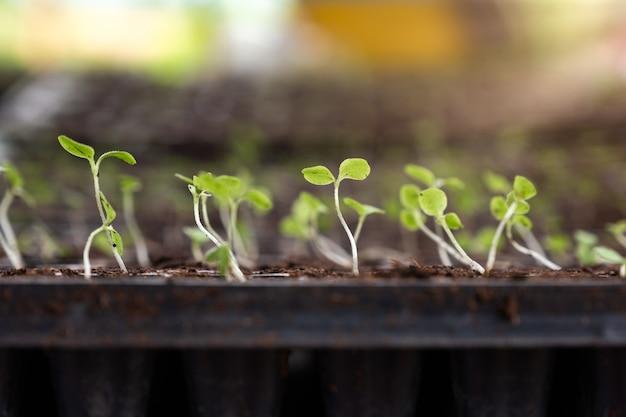 Саженцы с зелеными листьями растут в посадочном лотке