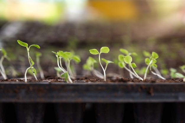 Seedlings with green leaf grow in planting tray